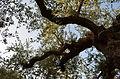 Ancient olive tree in Elia village, Lakonia, Greece (4).JPG