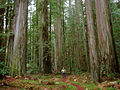 Ancient redwoods in Humboldt State Park.jpg
