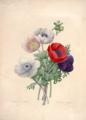 Anemone simple. Redouté, P.J., Choix des plus belles fleurs et des plus beaux fruits t. 107 (1827).tiff