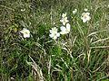 Anemone sylvestris sl7.jpg
