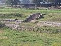 Anfiteatro di Suasa - Vomitorium laterale 1.JPG