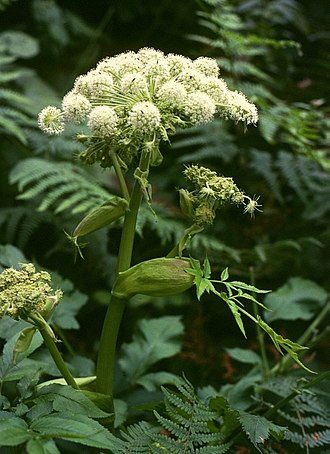 Phytochemistry - Image: Angelica sylvestris 3