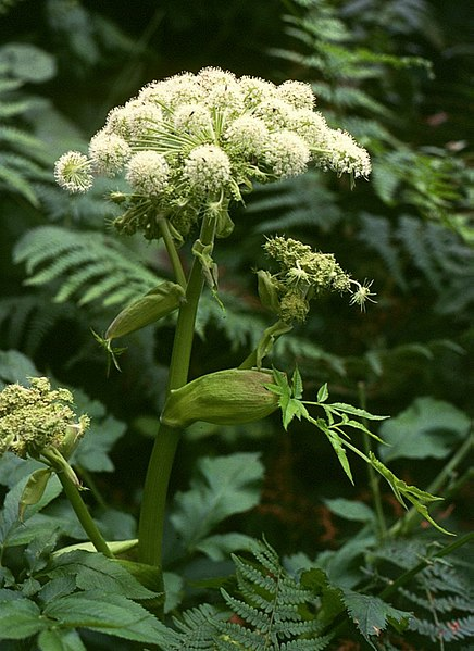 File:Angelica sylvestris 3.jpg