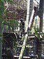 Angola colobus (Colobus angolensis) at Jacksonville Zoo (2).jpg