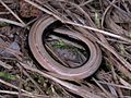 Anguis fragilis (Slow Worm), Mook, the Netherlands - 3.jpg