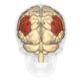 Angular gyrus - posterior view.png