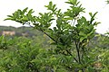 Annona squamosa - Sugar Apple Tree 01.jpg