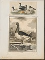 Anser cinereus - 1700-1880 - Print - Iconographia Zoologica - Special Collections University of Amsterdam - UBA01 IZ17600129.tif