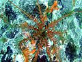 Antedon bifida, Playa San Juan 3.jpg