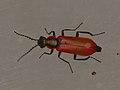 Anthocomus rufus (36590646642).jpg