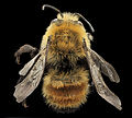 Anthophora bomboides, M, back, Lincoln Co, Wyoming 2013-12-30-14.02.22 ZS PMax (11766343264).jpg