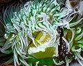 Anthopleura xanthogrammica.jpg