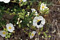 Anthrax sp. over Cistus sp. 01 by-dpc.jpg