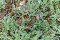 Anthyllis montana in Lozere (1).jpg