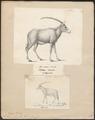 Antilope gazella - 1700-1880 - Print - Iconographia Zoologica - Special Collections University of Amsterdam - UBA01 IZ21400013.tif