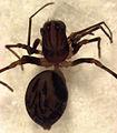 Aotearoa magna (female).jpg