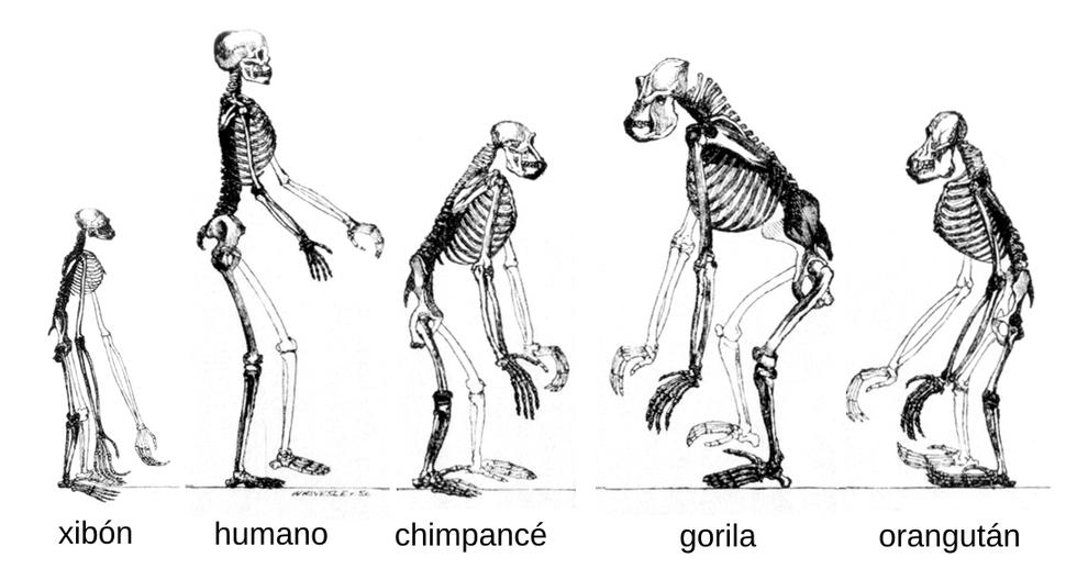 Ape skeletons gl