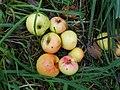 Apfelsorte Kaiserl, Kaiserapfel 2.JPG