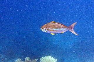 <i>Aphareus</i> (genus) genus of fishes