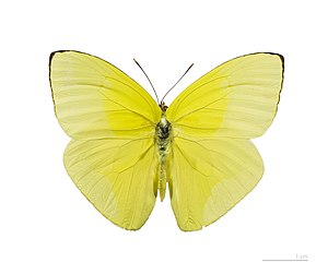 Aphrissa fluminensis - Image: Aphrissa fluminensis MHNT dos