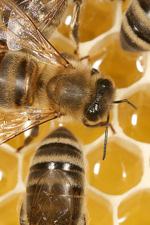 Waggle dance - Workers of Apis mellifera carnica on honeycomb.
