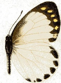 <i>Appias phaola</i> Species of butterfly
