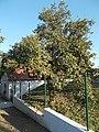 Apple tree, 2018 Zsámbék.jpg