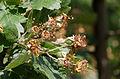 Apples of Malus florentina in May - Florentine crabapple - hawthorn-leaf crabapple - Italienischer Zierapfel.jpg