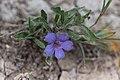 Aptosimum arenarium kanske-2398 - Flickr - Ragnhild & Neil Crawford.jpg