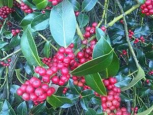 English: European holly (Ilex aquifolium) frui...