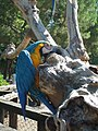 Ara - Araruna - Blue-and-yellow macaw - B.jpg