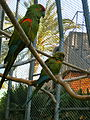 Ara rubrogenys -Barcelona Zoo, Barcelona, Catalonia, Spain-8a.jpg