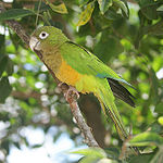 A green parrot with a yellow underside and white eye-spots