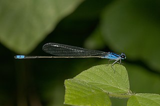 <i>Archibasis oscillans</i> species of insect