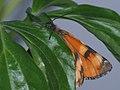 Archiearis parthenias - Orange underwing - Весенница берёзовая (40907677731).jpg