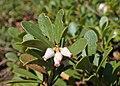 Arctostaphylos uva-ursi kz04.jpg