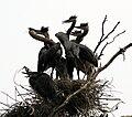 Ardea herodias at the nest 16.jpg