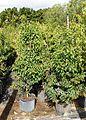 Ardisia Escallonioides (Marlberry) Bush (28799834841).jpg