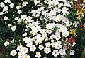 Arenaria montana 2b.jpg