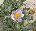 Arida arizonica 3.jpg