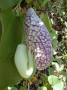 Calico Flower (Aristolochia littoralis), about to open