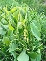 Aristolochia Clematitis L..jpg