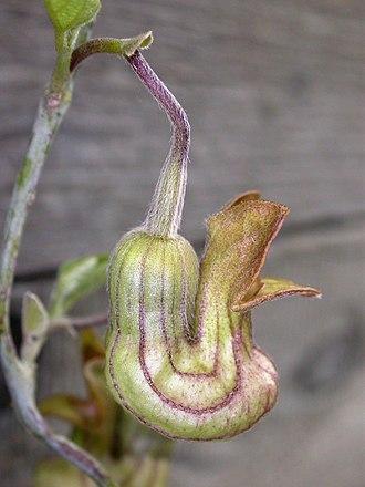 Aristolochiaceae - California pipevine (Aristolochia californica)