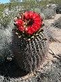 Arizona barrel cactus - Florence, AZ.jpg