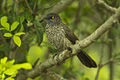 Arrow-marked Babbler - Kenya S4E2164 (18924797114).jpg