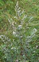 korgblommiga växter allergi
