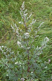 <i>Artemisia vulgaris</i> Medicinal herb known as common mugwort