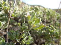 Artemisia arbuscula on Big Southern Butte (5881590357).jpg