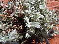 Artemisia bigelovii — Matt Lavin 021.jpg