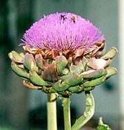 The Globe Artichoke has large purple flowerheads.